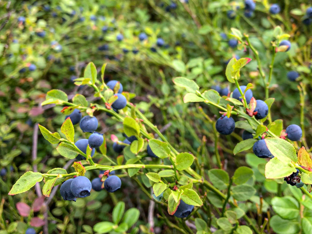 An amazing blueberry patch in Tyresta